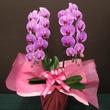 胡蝶蘭 ピンク2本立 上級グレード